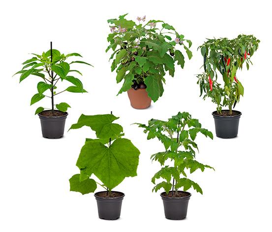 Gemüsepflanzen-Set, 5er