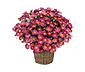 Margeritenbusch, pinkfarben