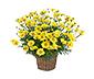 Margeritenbusch, gelb
