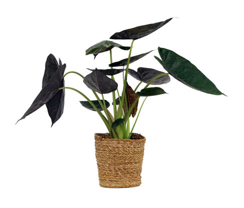 Schinner-Zimmerpflanze Alocasia »Yucatan Princess« im 19-cm-Topf