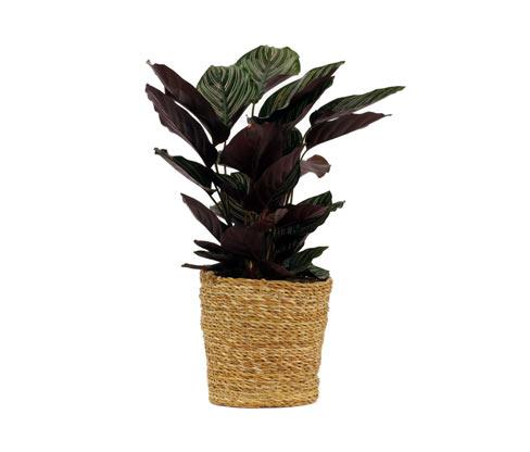 Zimmerpflanze »Calathea Makoyana« im 17-cm-Topf