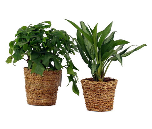 2 Zimmerpflanzen »Monstera Minima« und »Aglaonema Jubilee« – jeweils im Topf