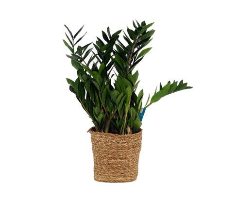 Zimmerpflanze Zamioculcas »Glücksfeder« im 17-cm-Topf