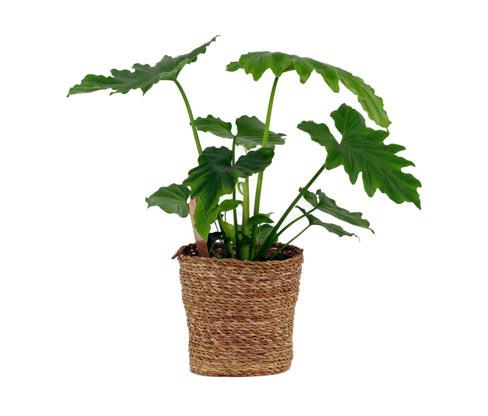 Zimmerpflanze »Philodendron Shangri La« im 17-cm-Topf