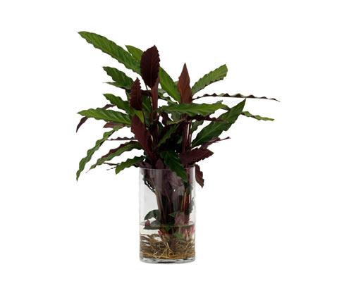 Water Plant »Calathea Rufibarba«