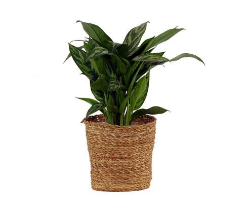 Zimmerpflanze »Aglaonema Stripes«, im 17-cm-Topf