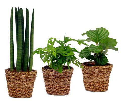 3 Zimmerpflanzen: Marante »Calathea Ortifolia«, Monstera »Monkey Leaf« und Bogenhanf »Sansevieria Cylindrica« – jeweils in 12-cm-Töpfen