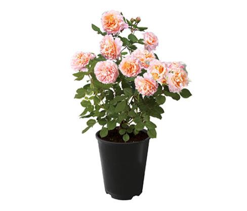 Rose »Augusta Luise«